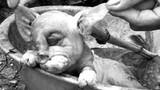 """Kỳ dị chuyện lợn đẻ ra...""""voi"""" ở Nghệ An"""