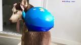 Chú chó Husky mặt ngáo, 4 vợ, quyết tâm ăn cả thế giới