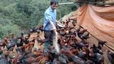 Nể phục lão nông người Mông nuôi cả ngàn gà nòi bán tết
