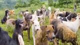Video: Thiên đường trú ẩn của 900 chú chó hoang