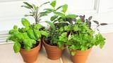Hướng dẫn trồng rau gia vị để có chợ rau tại nhà