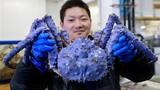 Sửng sốt xem cua biển khổng lồ mắc lưới ngư dân
