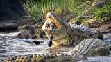Khoảnh khắc cá sấu hơn 200kg xé xác ngựa vằn đẫm máu