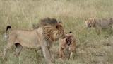 """Không săn được mồi, sư tử xé xác đồng loại ngay trước mặt """"bạn tình"""""""