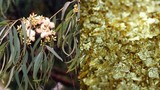 Ít người biết loại cây phổ biến ở Việt Nam có thể... trổ ra vàng