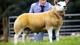 Con cừu nhìn như chó cưng có giá gấp đôi siêu xe Ferrari