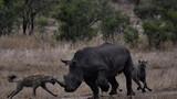 """Tung chiêu """"chỗ hiểm"""", linh cẩu dễ dàng hạ gục tê giác sừng khủng"""
