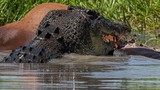 Kinh hoàng đàn cá sấu khát máu tranh nhau xé xác bò rừng