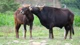 """Thời hoàng kim của thế hệ """"hậu duệ"""" bò tót rừng ở Ninh Thuận"""