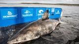 """""""Nữ hoàng đại dương"""" siêu khủng bắt được ở Canada thuộc loài gì?"""