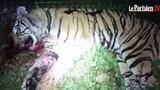 Hổ dữ 2 tạ sổng chuồng gây náo loạn Paris