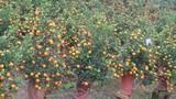Lạ mắt với những bình quất bonsai trĩu quả đón Tết