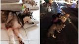 """Chú chó Alaska được phong """"anh hùng"""" khi cứu chủ trong đám cháy chung cư"""