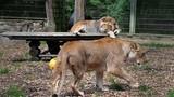 Video: Nhiều thú dữ xổng chuồng ở Đức, 1 con bị bắn hạ