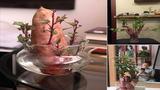 Trồng củ khoai bonsai xu thế chơi cây mới của giới trẻ Việt