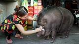 Video: Nuôi heo rừng nặng 200 kg làm thú cưng