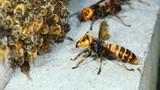 Video: Đàn ong bắp cày tấn công, cướp tổ đối thủ