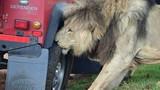 Sư tử đực cắn thủng lốp ô tô để khoe vẻ 'nam tính' với con cái