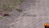 Rắn bị chim tấn công tơi tả