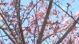 Chiêm ngưỡng vẻ rực rỡ của Mai Anh Đào đón Tết