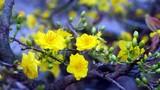 Xuất hiện giống hoa mai ra hoa 3 đợt trong năm