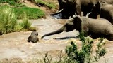 Đàn voi hợp sức cứu voi con đuối nước