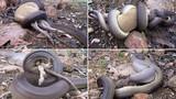 Kinh hãi cảnh trăn khổng lồ nuốt chửng Kangaroo