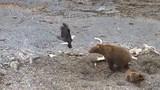 Gấu nâu xua đuổi đại bàng đầu trọc cướp thức ăn