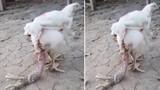 Quái vật gà 4 chân gây sửng sốt ở Thái Lan