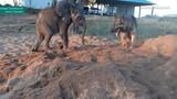 Kinh ngạc tình bạn hiếm thấy giữa voi và chó