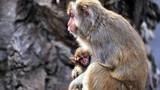 Xúc động cảnh khỉ mẹ ôm xác con không rời