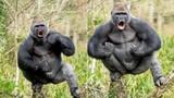 """Ảnh động vật tuần: Khỉ đột khoe cơ bắp... """"dằn mặt người"""""""