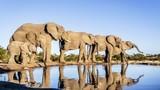 Cận cảnh cuộc sống của voi châu Phi trong tự nhiên