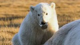 Gấu Bắc Cực bị mắc lưỡi trong vỏ lon suốt 2 tuần