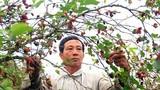 Cận cảnh vườn dâu tằm hơn trăm triệu đồng mỗi năm