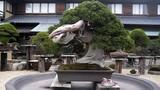 Đã mắt ngắm loạt bonsai cổ siêu đẹp, siêu dị