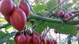 Những giống cà chua ngoại gây sốt thị trường Việt