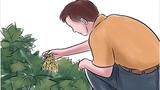 Cách trồng dưa chuột tại nhà cho quả hái mỏi tay không hết