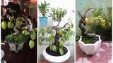 Mê mẩn những chậu khế bonsai dáng siêu đẹp