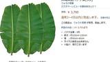 """Cận cảnh lá chuối Việt bán đắt """"khủng khiếp"""" tại Nhật: 500.000 đồng/chiếc"""
