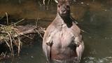 Chuột túi nổi tiếng nhờ khoe cơ bắp cuồn cuộn như lực sỹ