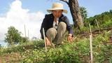 Thăm xứ sở sâm dây giúp nông dân Kon Tum làm giàu