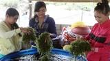 Thăm thủ phủ rong nho giúp nông dân Ninh Thuận đổi đời