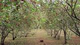 Mướt mắt vườn dâu tằm bạc triệu của nông dân Việt
