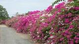 Cách trồng hoa giấy chuẩn nhất cho hoa sai và lâu tàn