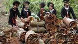 """Về thủ phủ quế """"hái"""" ra tiền, nhiều cây """"khủng"""" ở Yên Bái"""