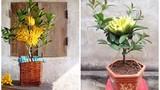Phật thủ bonsai mini tuyệt đẹp hút khách trước Tết