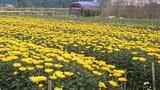 Làng hoa kiểng khắp nước tất bật vào vụ Tết