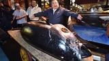 Mục sở thị cá ngừ đắt kỷ lục giá 70 tỷ
