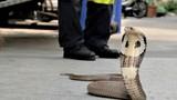 """""""Người Nọc Độc"""" bị rắn cắn hỏng tay vẫn ngày ngày lao đi bắt rắn"""